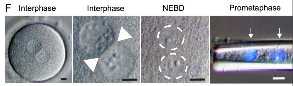 Egli et al - early development